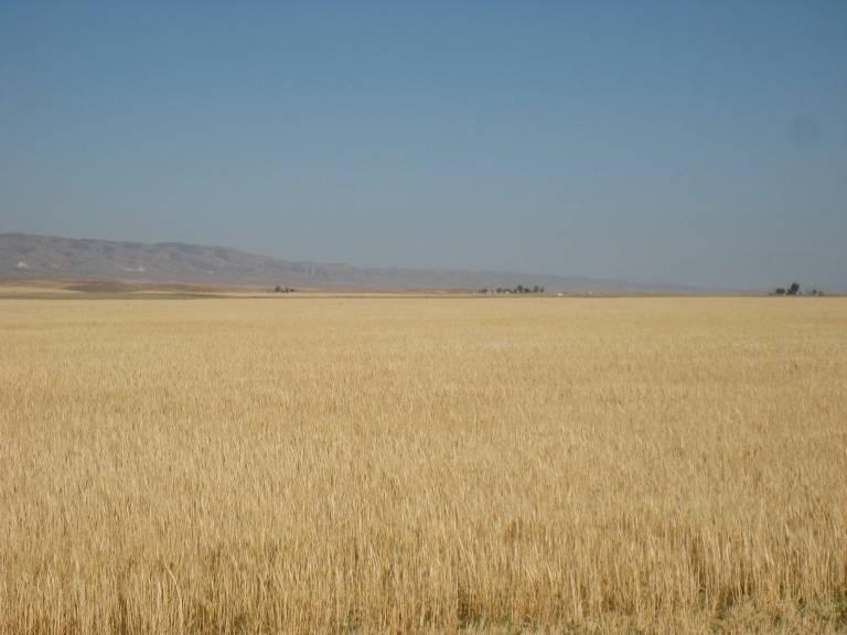 carizzo_wheat2